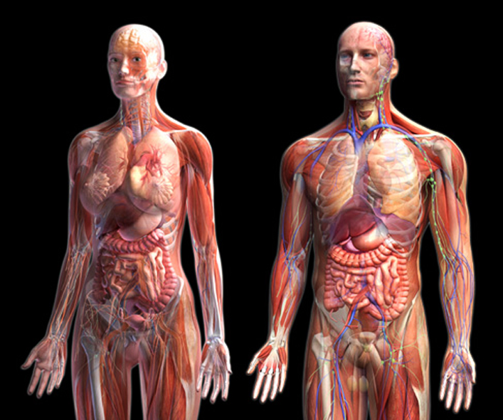 Bodies anatomy pictures