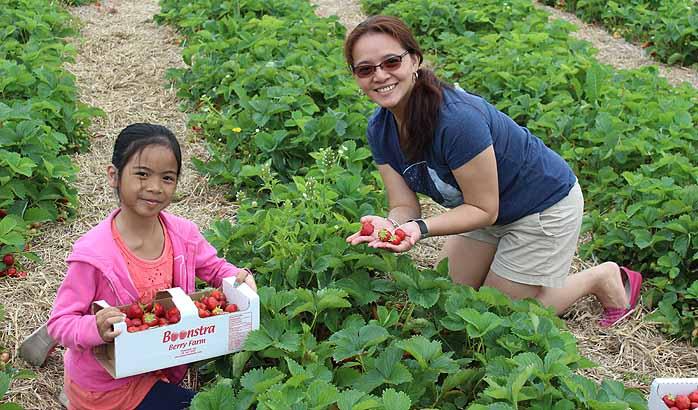 U-Pick strawberry season in full bloom