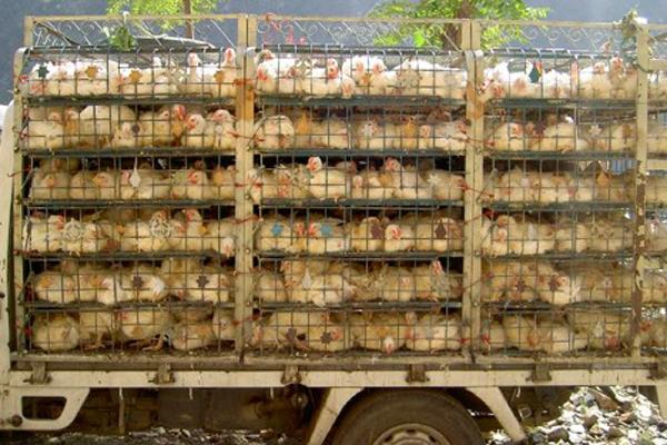 No chicken shortage but delayed in deliveries