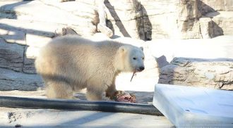 New Polar Bear Cubs at Assiniboine Park Zoo