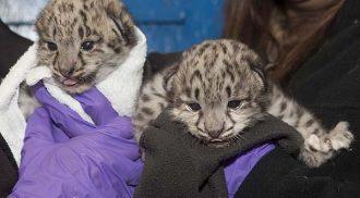 Sneak Peek: Snow leopard cubs!