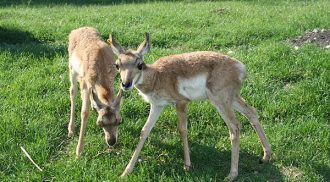 Baby Pronghorn Now on Exhibit at Assiniboine Park Zoo