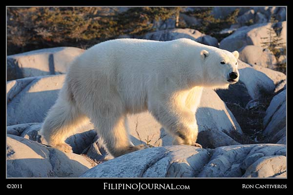 It's Polar Bear Season
