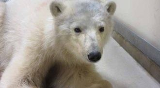 Leatherdale International Polar Bear Conservation Centre Takes in Second Orphaned Polar Bear Cub This Year