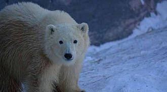 Nanuq & Siku – Two New Polar Bear Cubs at Assiniboine Park